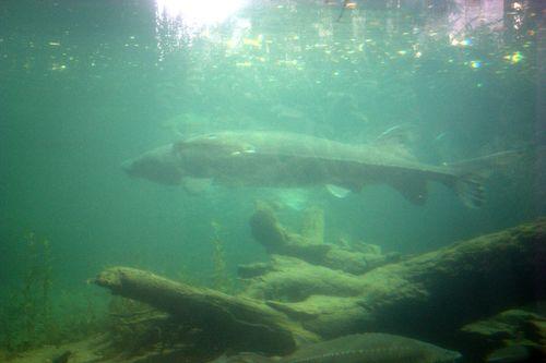 Cascade locks sturgeon with moss tree